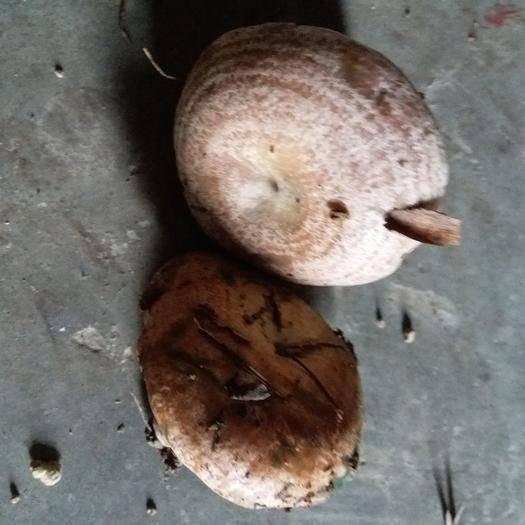 湖南省湘西土家族苗族自治州龙山县香菇菌种