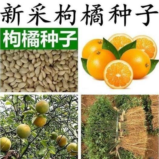 江苏省宿迁市沭阳县枳壳种子