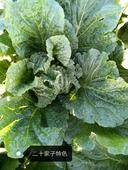 秋白菜 6~10斤 凈菜