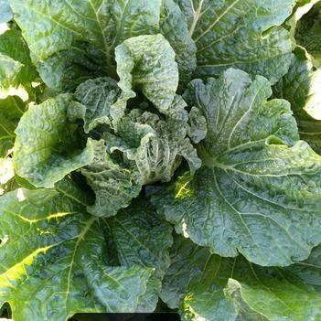 秋白菜 6~10斤 净菜
