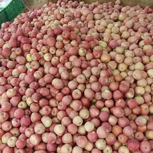 湖北省宜昌市夷陵區洛川蘋果 膜袋 片紅 65mm以上