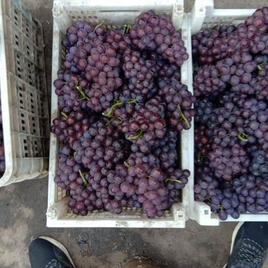 河北省石家庄市晋州市巨峰葡萄 5%以下 2次果 1-1.5斤