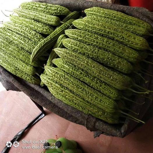 山东省潍坊市寿光市绿苦瓜 20~30cm