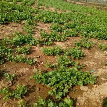 大葉香菜 25~30cm