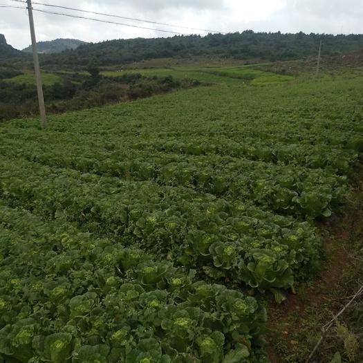 云南省紅河哈尼族彝族自治州瀘西縣高抗王二號大白菜 3~6斤 二毛菜