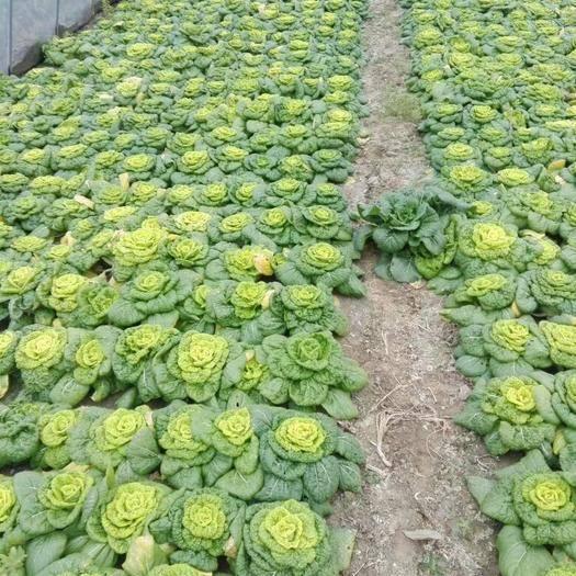 安徽省蚌埠市怀远县 精品小棵黄心菜大量上市,包质量。