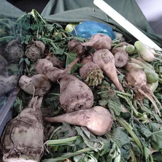 甘肅省蘭州市安寧區紅甜菜 15cm以上