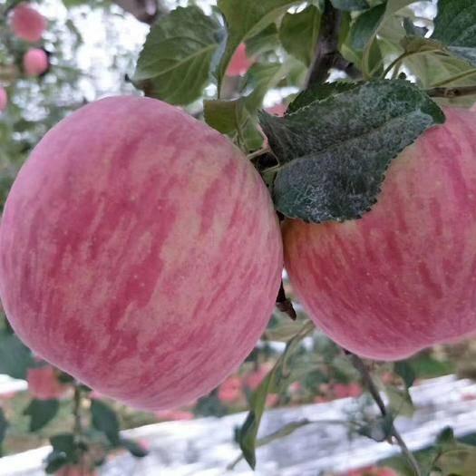 陜西省延安市洛川縣紅富士蘋果 紙袋 條紅 80mm以上