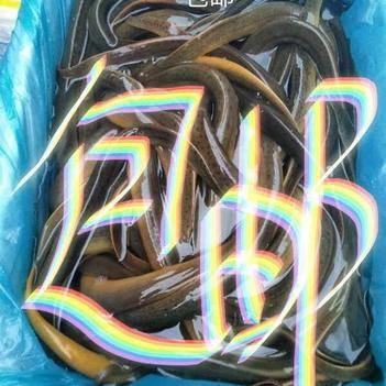 孟加拉野生黄鳝(5两-7两)