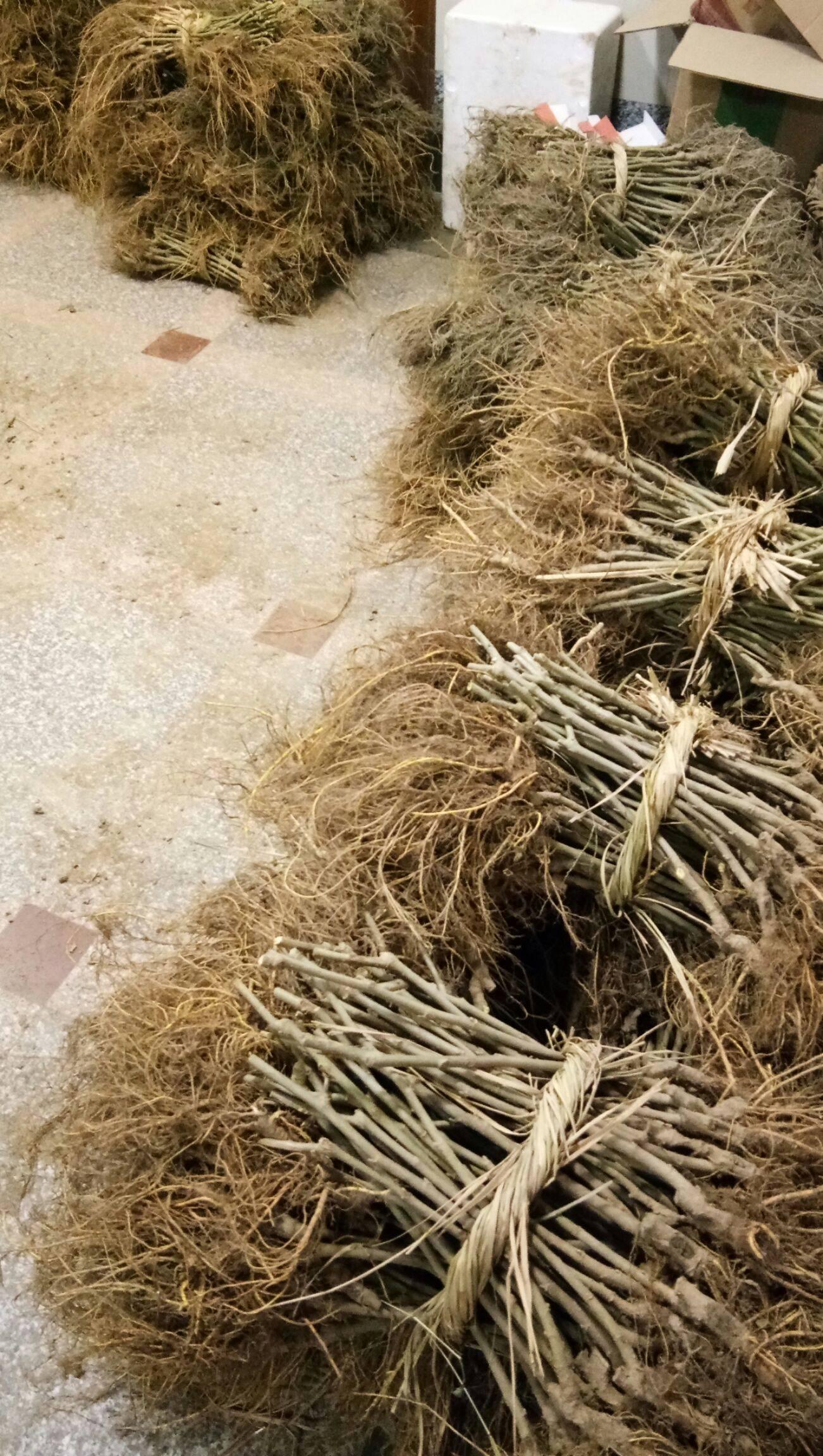 長果桑苗 包種植指導 易成活 青苗