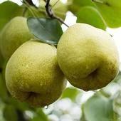 酥梨苗 0.5~1米