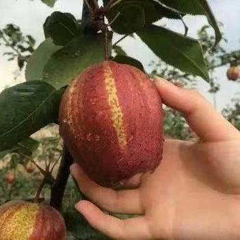 早酥紅梨苗 0.5~1米