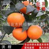 優質沃柑苗基地直銷  品種保證