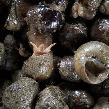螺蛳 野生石螺 纯手工打捞 人工筛选