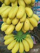 小米蕉  八成熟 野生小米蕉