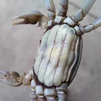 固城湖大闸蟹 老头蟹  一元蟹塘口直销