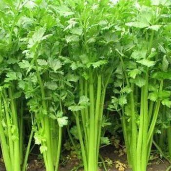 苦水芹菜 40~45cm 大棚種植 0.5斤以下