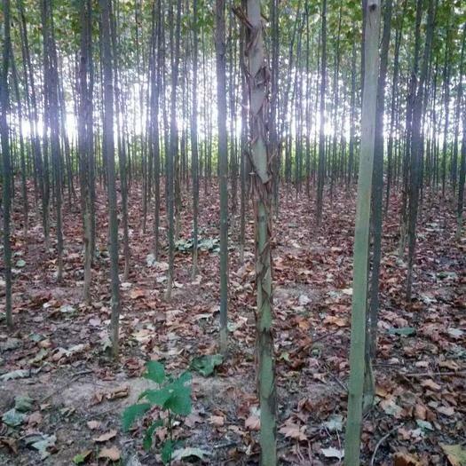 河北省石家庄市赞皇县法国梧桐  3.5~5米 2-10cm