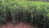 沃柑苗  嫁接苗 1~1.5米 各品種大苗,可簽純度合同