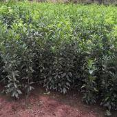 沃柑苗  嫁接苗 1~1.5米 各品种大苗,可签纯度合同