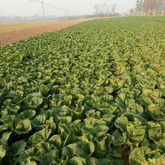 河南省周口市商水縣豫早一號 3~6斤 凈菜