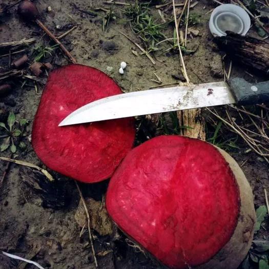 安徽省宿州市蕭縣甜菜根 15cm以上