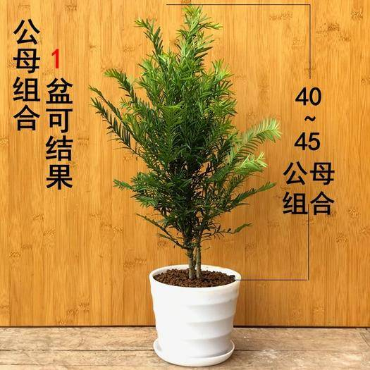 江苏省徐州市新沂市南方红豆杉 0.5米以下