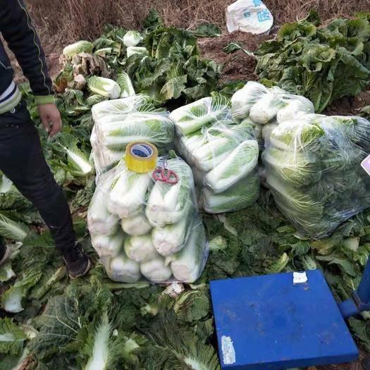 遼寧省朝陽市北票市海豐五號 10~15斤 凈菜