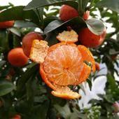 砂糖橘苗 嫁接苗 0.5~1米