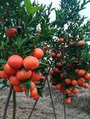 美國糖桔苗  0.5~1米 嫁接苗 根系發達,粗壯,可簽純度合同