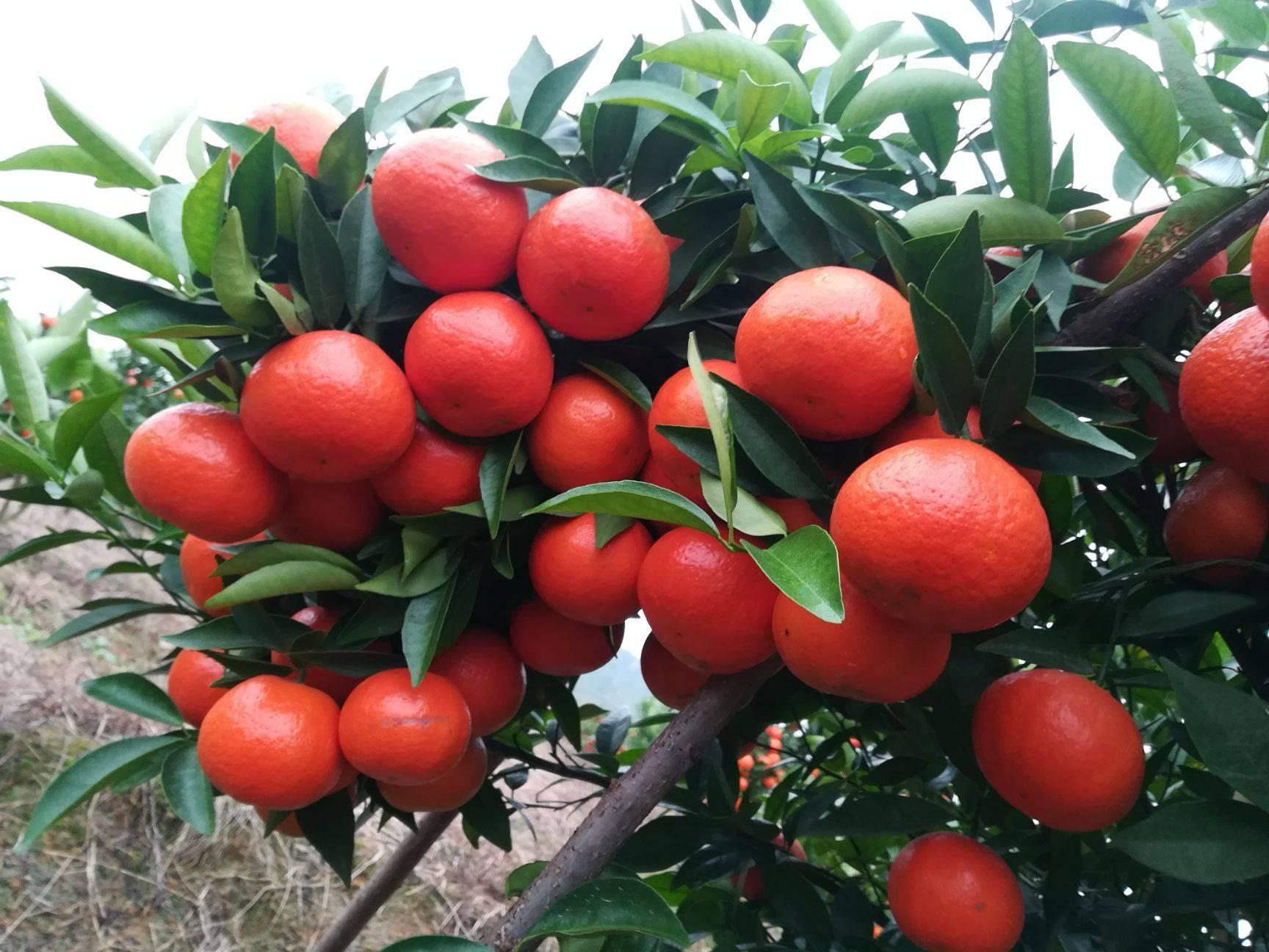 美國糖桔苗 根系發達,粗壯,可簽純度合同