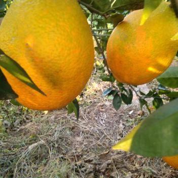 甜橙 70-75mm 4-8兩