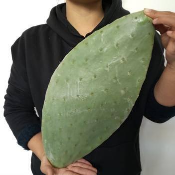 正宗米邦塔可食用仙人掌美容仙人掌可藥用種植種苗
