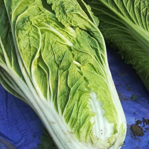 河北省滄州市任丘市德高80大白菜 10~15斤 毛菜