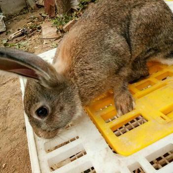 比利時野兔 起批重量 數量不一樣 價格也不一樣 老板參考下單
