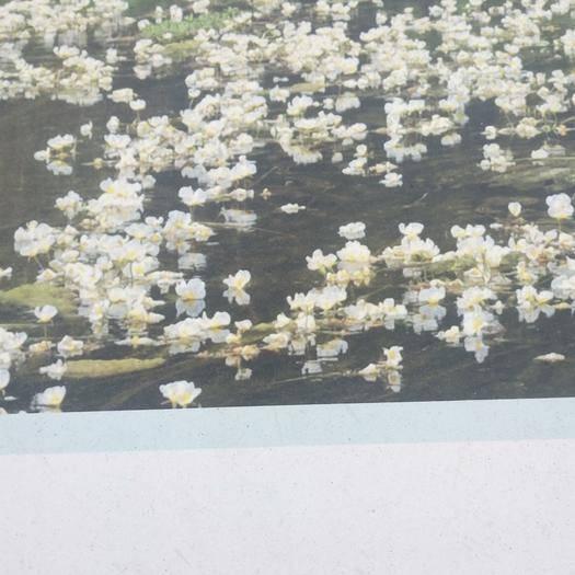 廣西壯族自治區河池市都安瑤族自治縣南海海白菜