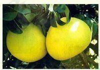 浙江省台州市玉环市文旦柚 2斤以上