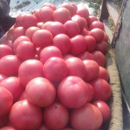 山東省德州市臨邑縣硬粉番茄 不打冷 硬粉 弧三以上