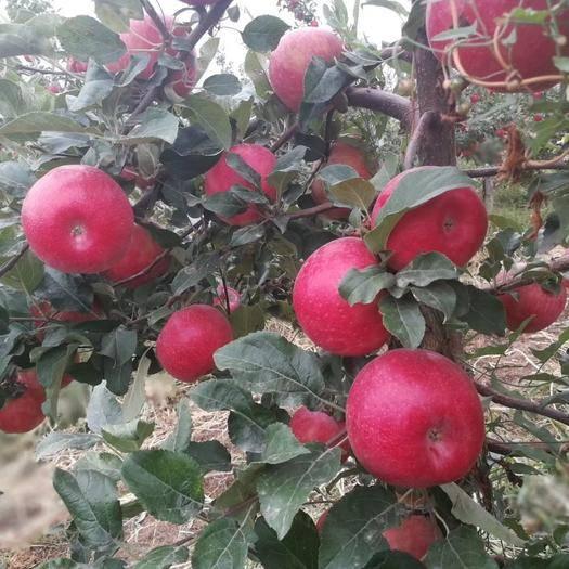 新疆維吾爾自治區伊犁哈薩克自治州伊寧市美國蜜脆蘋果 光果 全紅 75mm以上