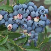 薄霧藍莓苗