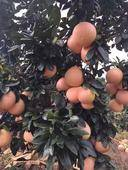 三紅蜜柚苗 免費提供技術,可簽純度合同