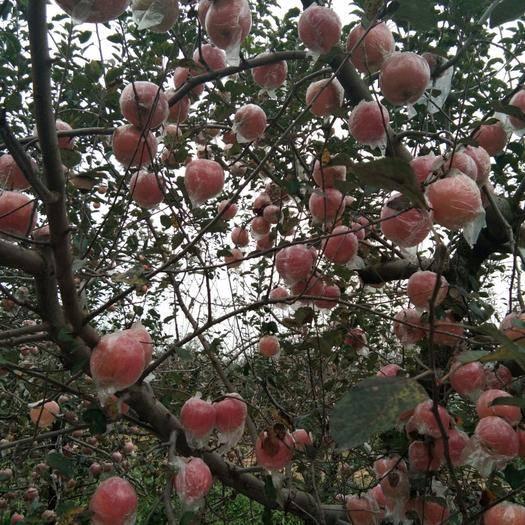 山西省運城市臨猗縣長富2號蘋果 75mm以上 條紅 膜袋