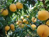 錦繡黃桃苗  0.5~1米 正品行貨,可簽純度合同