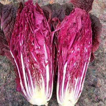 紫色大白菜 2~3斤 净菜