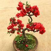 日本海棠  矮化盆景苗