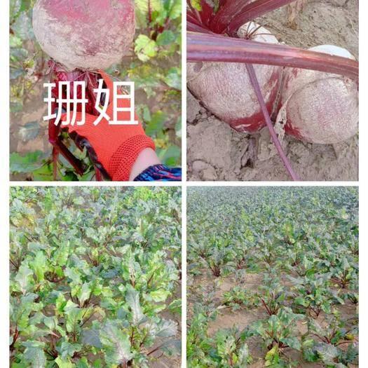 江蘇省徐州市沛縣紅甜菜 15~20cm