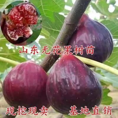 山東省臨沂市平邑縣波姬紅無花果苗  品種全  當年掛果