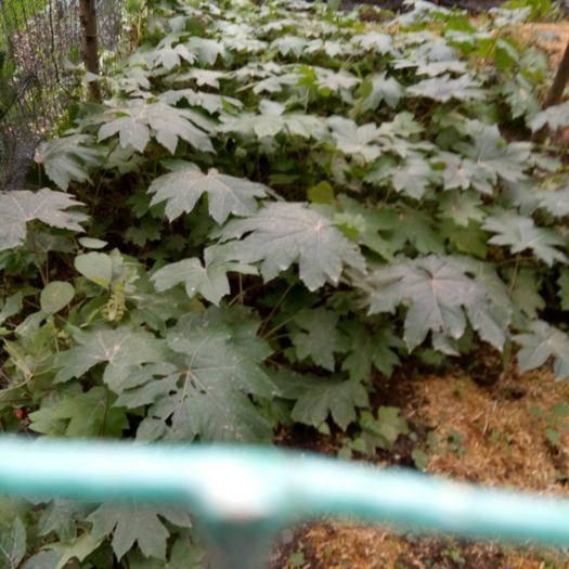 四川省乐山市峨边彝族自治县通草 有老板需要大种子的联系我下个月成熟了