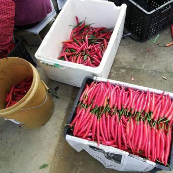 美人椒 10~15cm 微辣 紅色