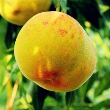 黃桃樹苗 1~1.5米